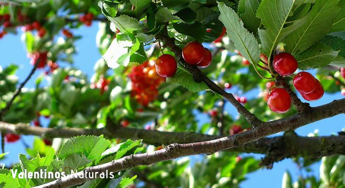 Montmorency Tart Cherry Review - Info, Benefits, Dosage, Side Effects and More